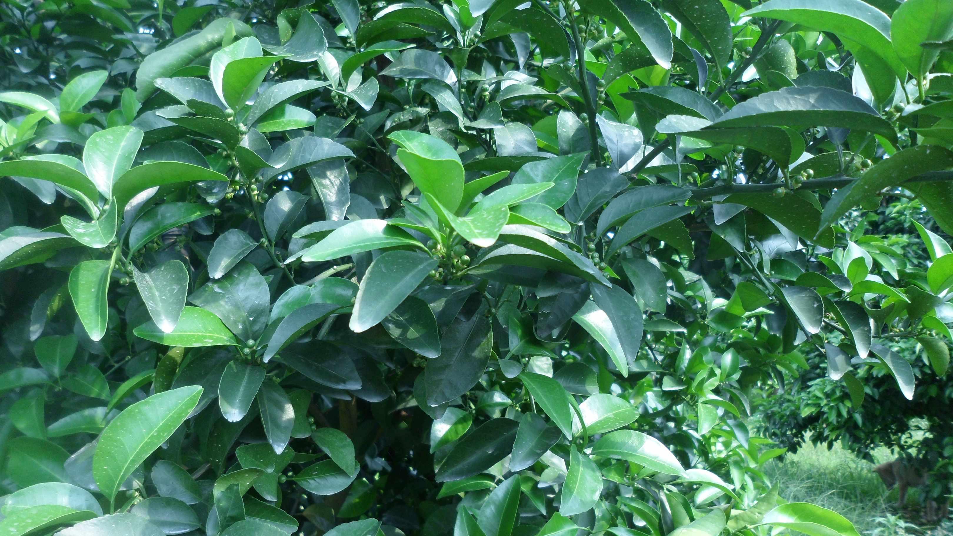 叶色浓绿,坐果文.png